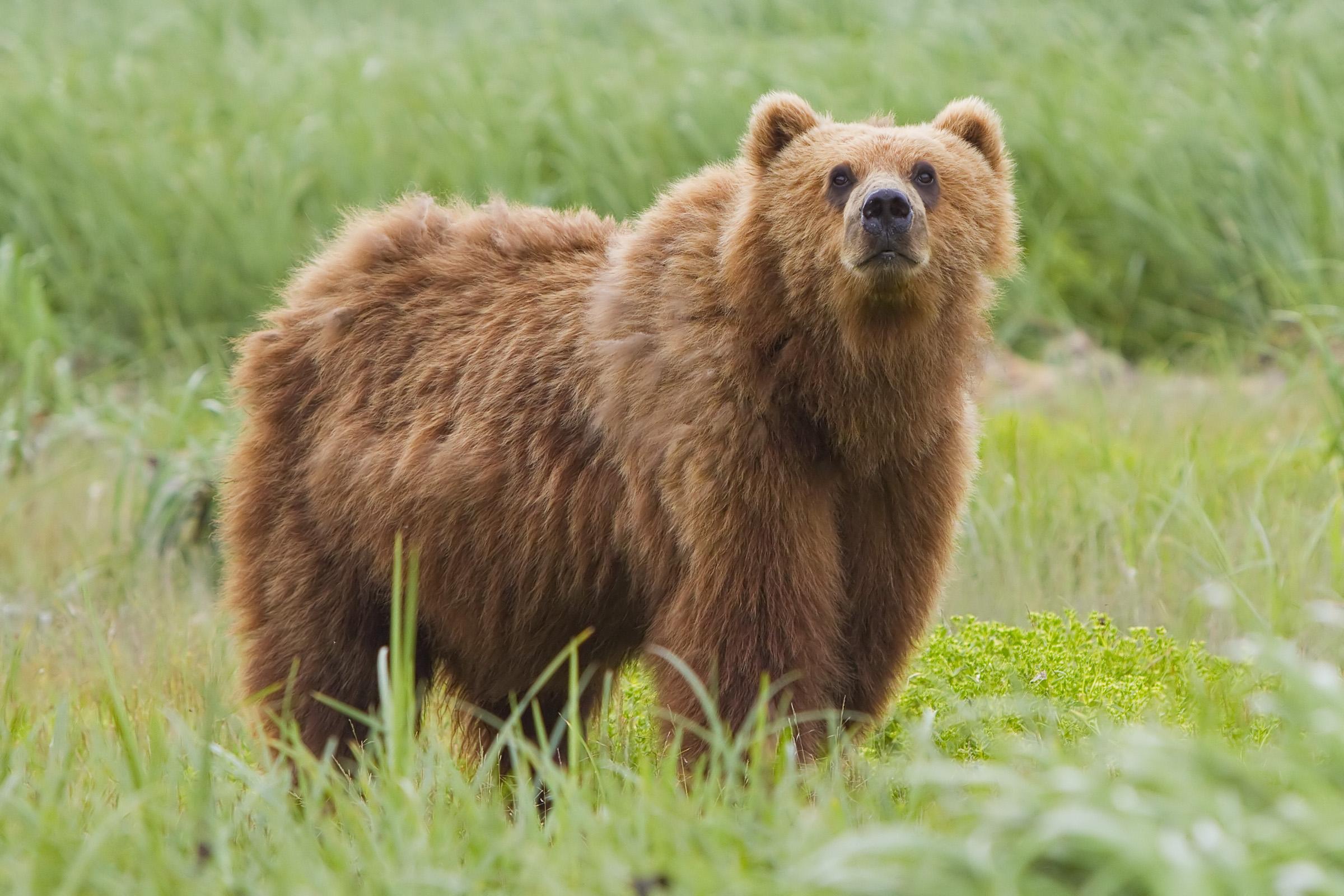 夏天熊出没注意!加拿大4种熊大科普!去哪看?遇到咋办?如何区分?