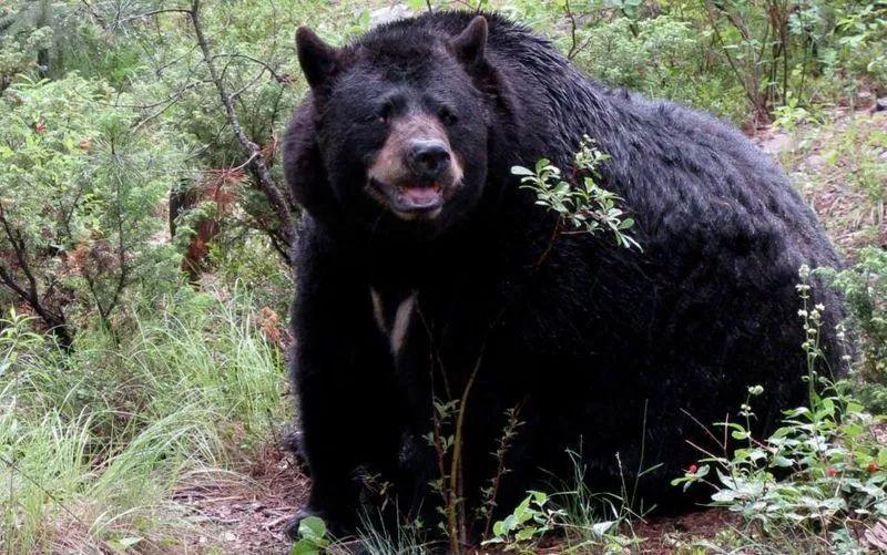 惊魂一刻!列治文童子军与黑熊正面交锋!帐篷被黑熊一掌打烂!