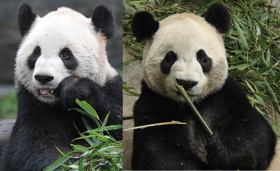 危机!竹子运输受阻,旅加大熊猫遭遇断粮,救救国宝!