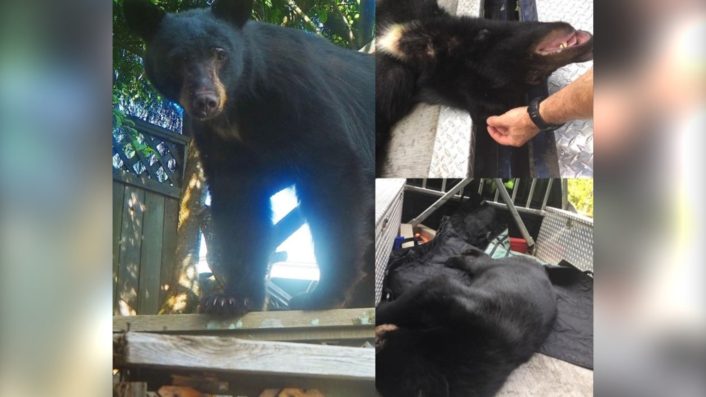 就为发个朋友圈,大温又一只黑熊无辜死亡!距离就是关爱,你们何时明白?