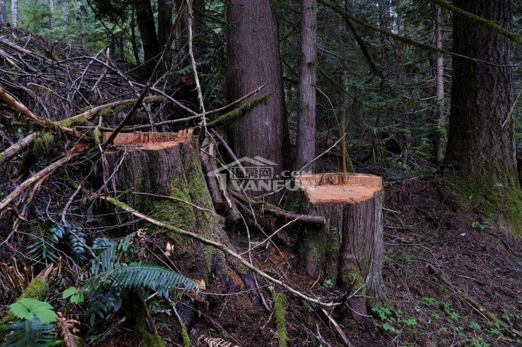 """因为木材的高需求和空前的高价,木料俨然成为今年房屋装修""""旺季""""里最热门的商品。但更出乎所料的是,在这样的情况下,森林里的树和建商手上的木材都成了盗贼们的新目标,不论是软木和硬木,还是大自然里的大树、小树或枯木,都被瞄准了。而就目前来看,BC省的木材价格已飙到创纪录水平,据TheCanadianPress消息,现在每1000板尺的软木价格已经去到约1,600加元,而一年前仅约为300加元,价格翻了超过5倍。温哥华岛的MountPrevost树木最近被偷砍,摄于2021年5月10日星期日。..."""